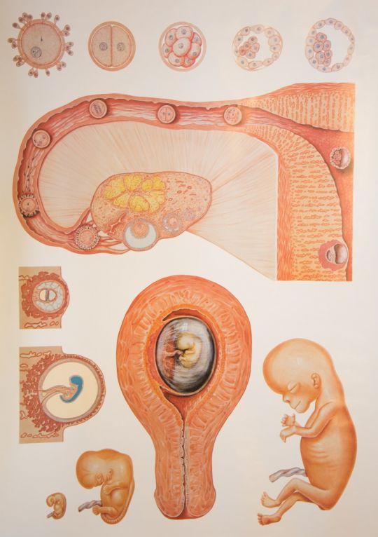 Wandplaat ontwikkeling foetus tot baby
